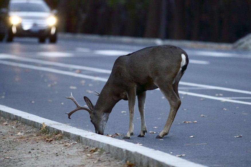 deer on side of road
